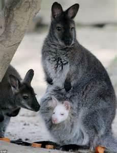 The video that reveals Australian wallabies crawling ...