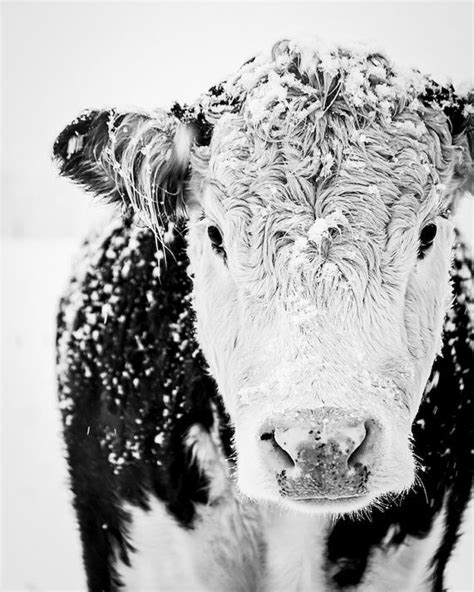 Cow Art, French Country Decor, Farm Cows, Winter Art