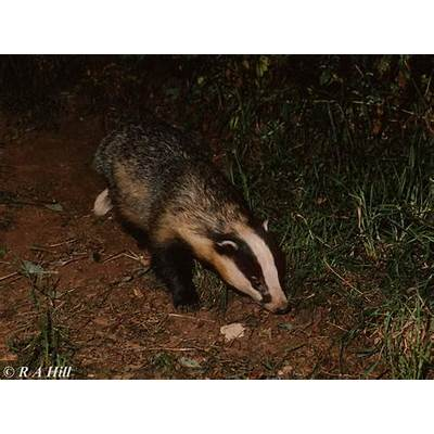 European Badger; Image ONLY