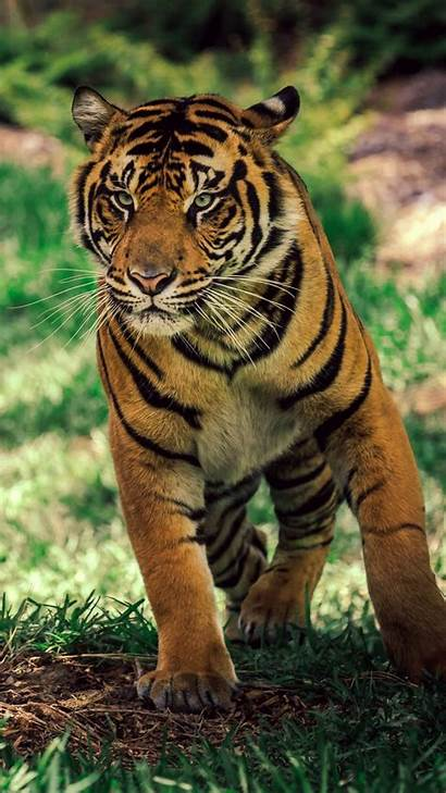 Tiger Wildlife Wallpapers Savanna Iphone Android 1920