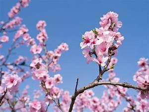 Planter Un Cerisier : cerisier du japon prunus serrulata ~ Melissatoandfro.com Idées de Décoration