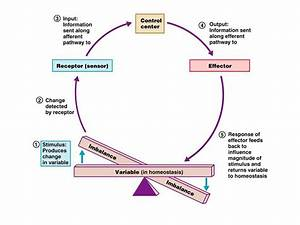 In A Negative Feedback Loop  The Body Detects A Change Or