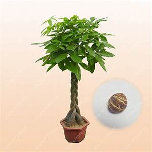 Online Buy Wholesale pachira aquatica plants from China ...