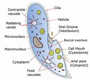 Ciliates Microscopy