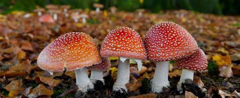 Tipi Di Funghi Da Cucinare by Funghi Velenosi 17 Specie Da Riconoscere Agrodolce