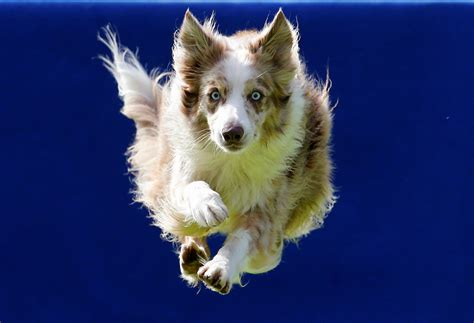 Flying Dogs Competition