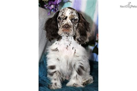 **our puppies have been seen in petco ads, national and internationals commercials** akc american cocker. Royal: Cocker Spaniel puppy for sale near Denver, Colorado. | 165eef93-a611