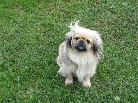 pekingese dog cost howmuchisitorg