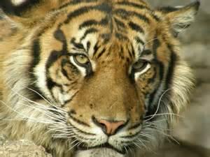 トラ:個別「[SP-550UZ][動物]トラ No.7」の写真、画像、動画 - 20070321 上野 ...