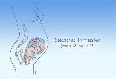 stages  pregnancy st   trimester images