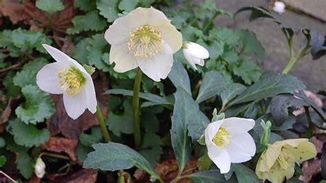 Christrose Pflanzen: Richtige Pflege Für Die Christrose