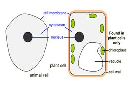 plant and animal cells ks3 by rossydunn teaching resources