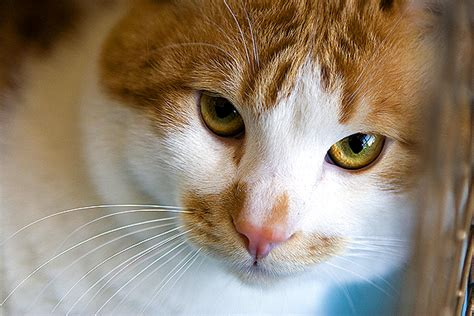 Fip Is A Dreaded And Poorly Understood Disease In Cats