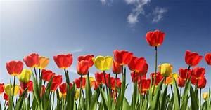 Cómo desenterrar las bulbas de tulipán para pasar el invierno utilidad