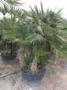 Palmen Für Draußen : palmenarten f r drau en palmen fest gepflanzt oder als ~ Michelbontemps.com Haus und Dekorationen