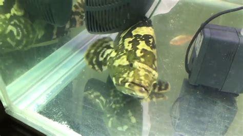 grouper freshwater hybrid