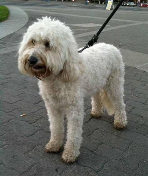 dog   day fiona  goldendoodle  dogs  san