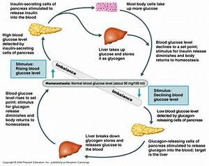 6 5b  Homeostasis  U2013 Glucose Regulation
