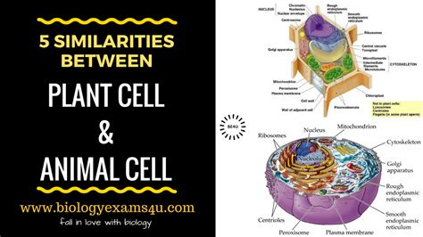 similarities  plant cell  animal cell