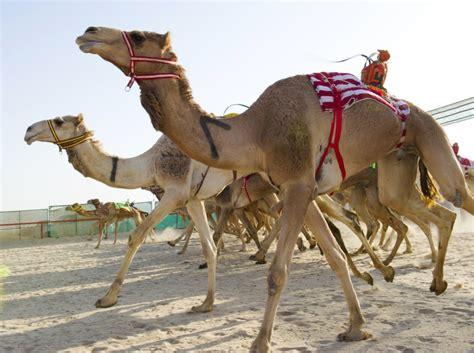 Dubai Camel Race Fiddle: Three Men Jailed for Stun Gun in ...