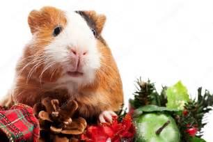 Nalezený obrázek pro vánoční morče