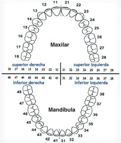 Tooth Diagram Chart by Tooth Chart Whatcom Alliance For Health