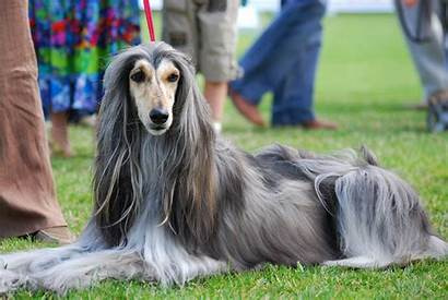 Afghan Hound Dog Dogs Animals Wallpapers Hounds