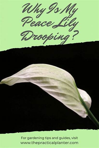 Peace Lily Drooping Watering Problem Might Than
