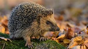Igel Im Garten : eingeigelt winterquartier f r die kleinen stacheltiere ~ Lizthompson.info Haus und Dekorationen