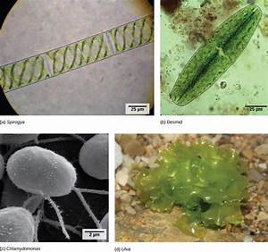 Green Algae  Precursors Of Land Plants  U2013 Biology 2e