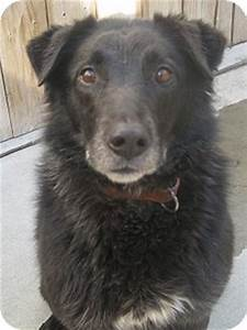 Chicago, IL - Labrador Retriever. Meet Black Jack (ADOPTED ...