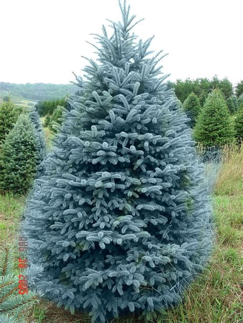 spruce trees blue colorado spruce plant life pinterest