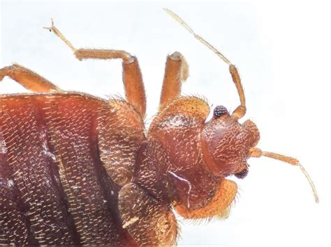 Bed Bugs by Bed Bugs Pest Parkersburg Marietta Athens