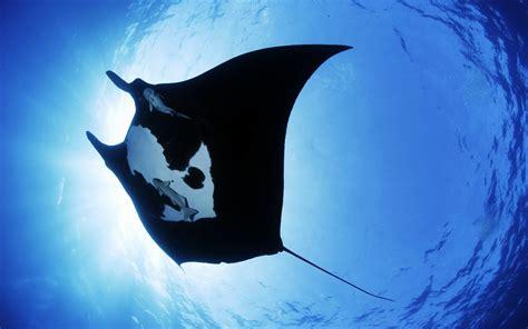 manta ray sea creature wallpapers hd wallpapers id
