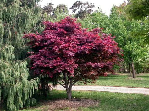 Japānas kļava Acer palmatum 'Atropurpureum' - Dārzs zem Saules