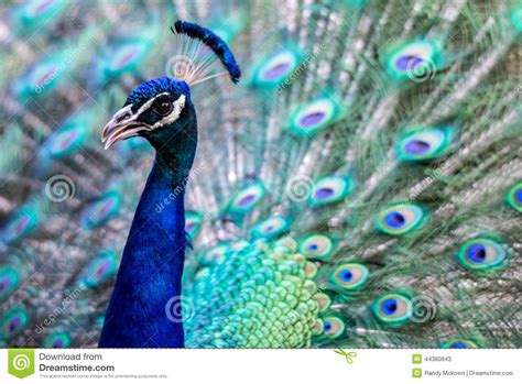 bright colorful peacock stock image image  flared