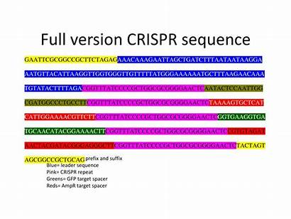 Crispr Sequence Repeat Leader Spacer Ppt Powerpoint