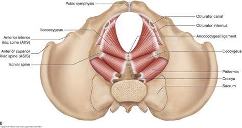pelvic floor muscles female learn muscles