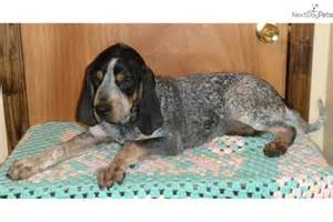 dog ready for adoption catahoula leopard dog bluetick