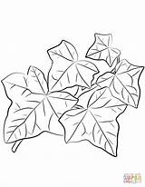Coloring Ivy Pages Leaves Common Drawing Printable sketch template