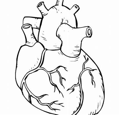Coloring Human Heart Pages Outline Parts Skeleton
