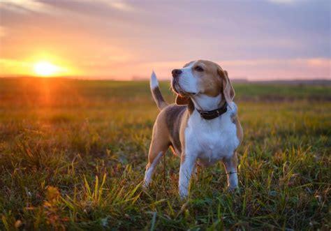 10 suņu šķirnes, kas visbiežāk sirgst ar vēzi: arī TOP3 ...