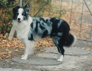 Border Collie Blue Merle Tricolor | www.imgkid.com - The ...