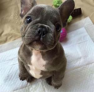 OH MY GOODNESS!! He's so stinkin cute! French Bulldog ...