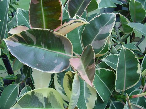 How To Take Cuttings From Ficus Elastica |the Garden Of Eaden