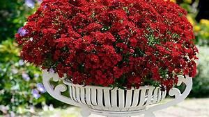 elfenspiegel nemesia richtige pflege fur die blumen With französischer balkon mit welche blumen blühen den ganzen sommer im garten