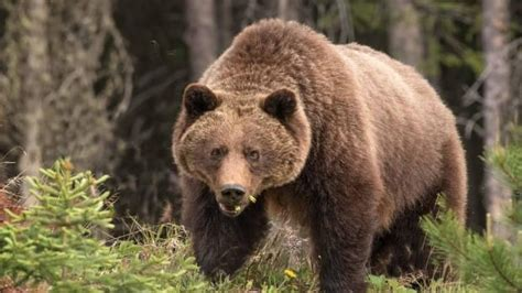 grizzly glares  viewerjpg