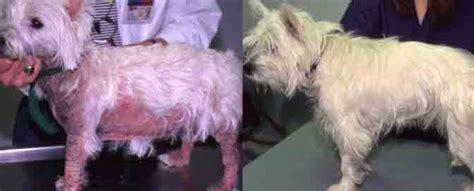 Terrier Skin Conditions Goldenacresdogs Com