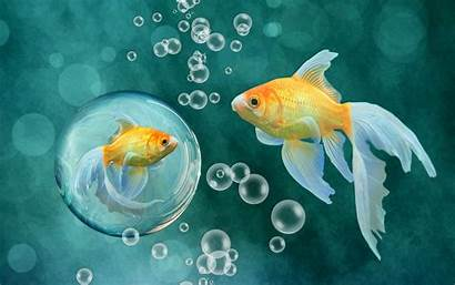 Fish Goldfish Background Gold Fishes Wallpapers Underwater