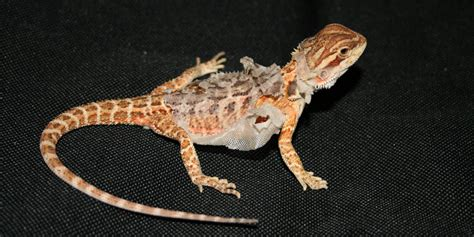 what kind of heat l for bearded dragon the correct humidity for pet bearded dragons bearded